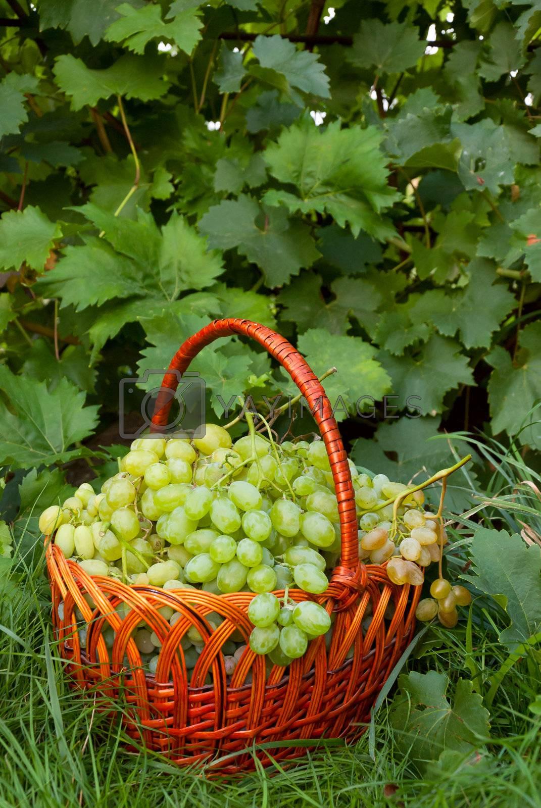 Ripe green grapes in wicker basket on grass in garden, grapevine background, outdoor