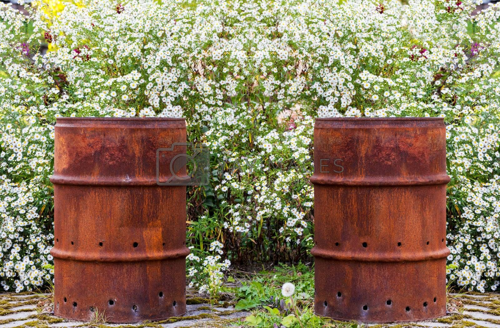 This image shows two rusty barrel in a flowerbed