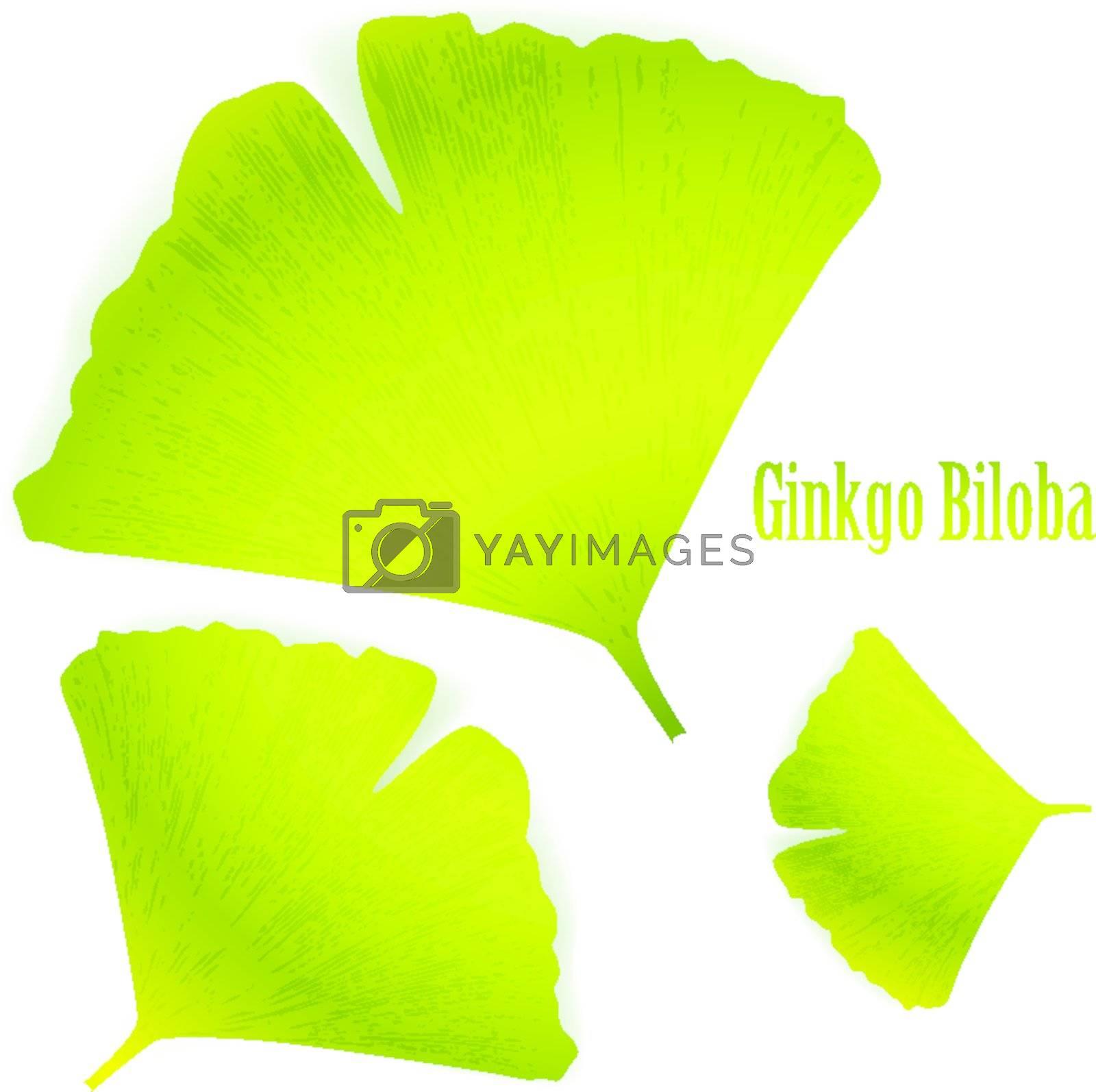 Ginkgo Biloba leaves over white
