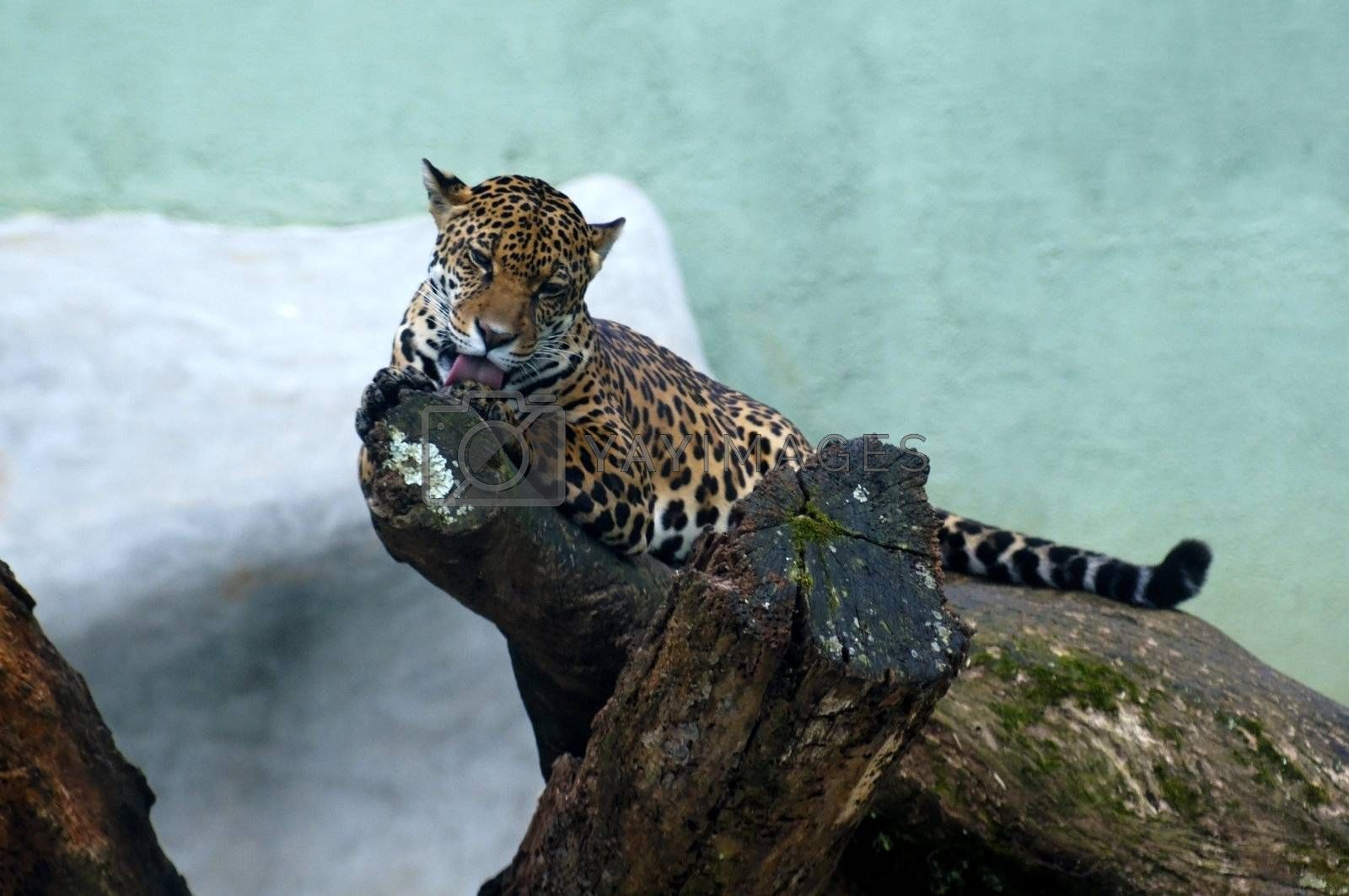Americas feline largest, her body is robust and muscular, their size varies between 1120 - 1.850mm