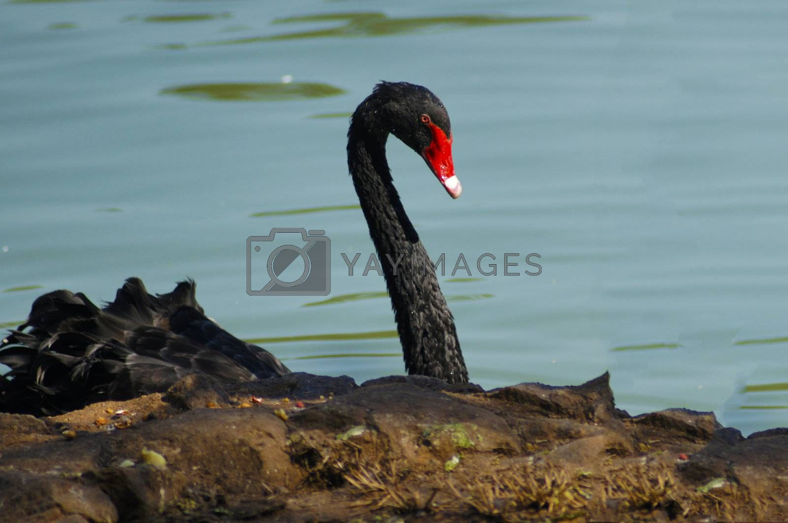 With one year of age get their adult coloring, and its neck fully black contrasts beautifully with the red base of its beak and body entirely black