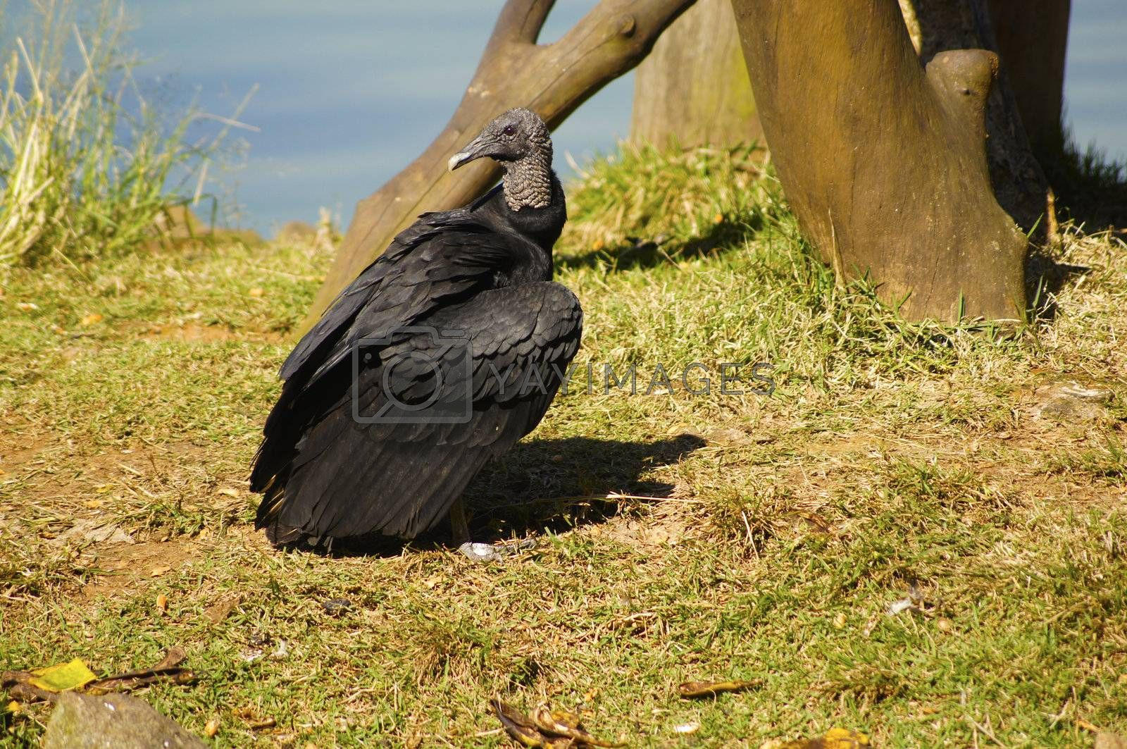 Common bird found in various parts of the world that has the purpose of eating the remains of dead animals