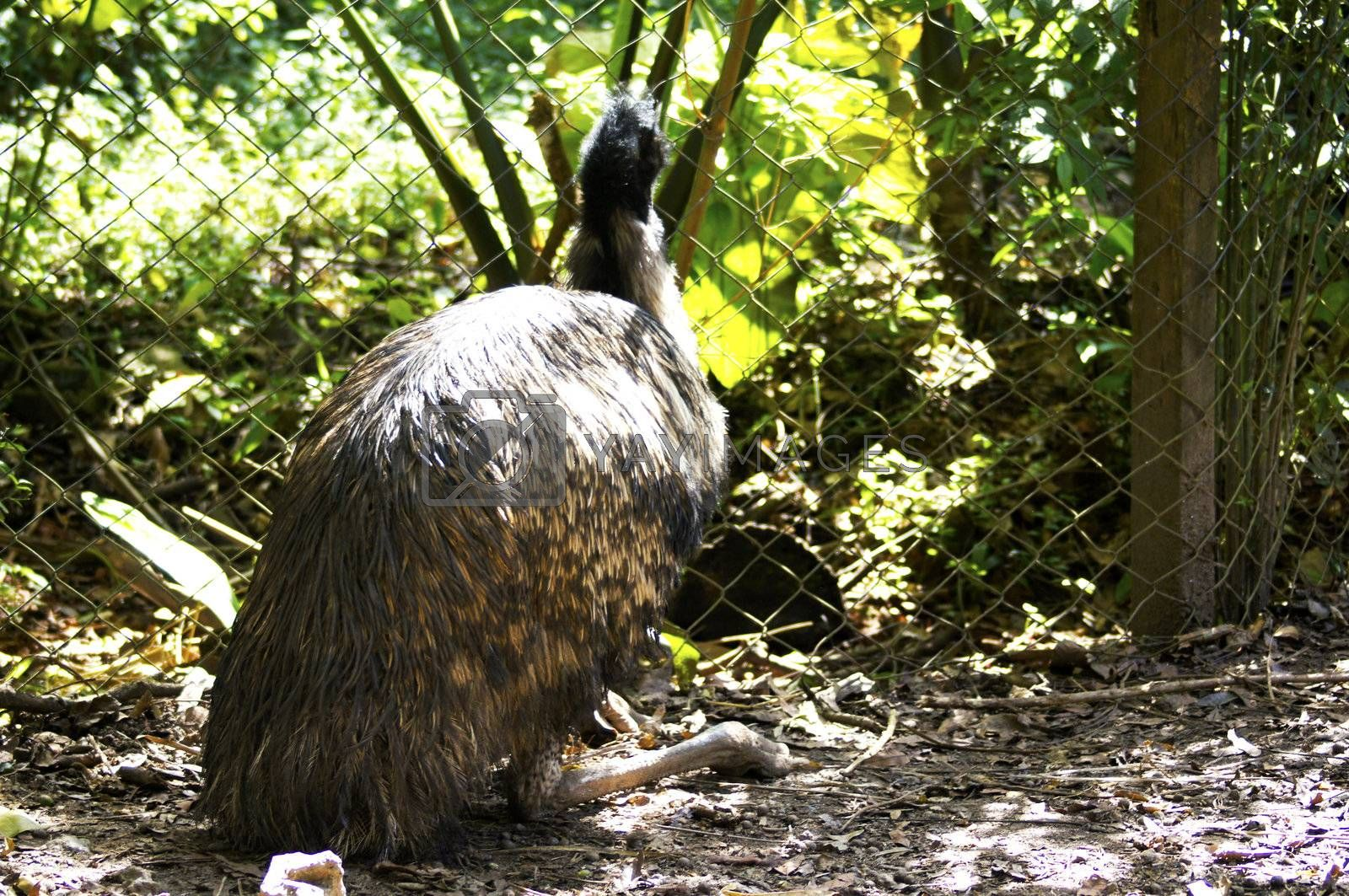 The Rhea americana, belongs to the birds ratites, which are large birds, waders and do not fly