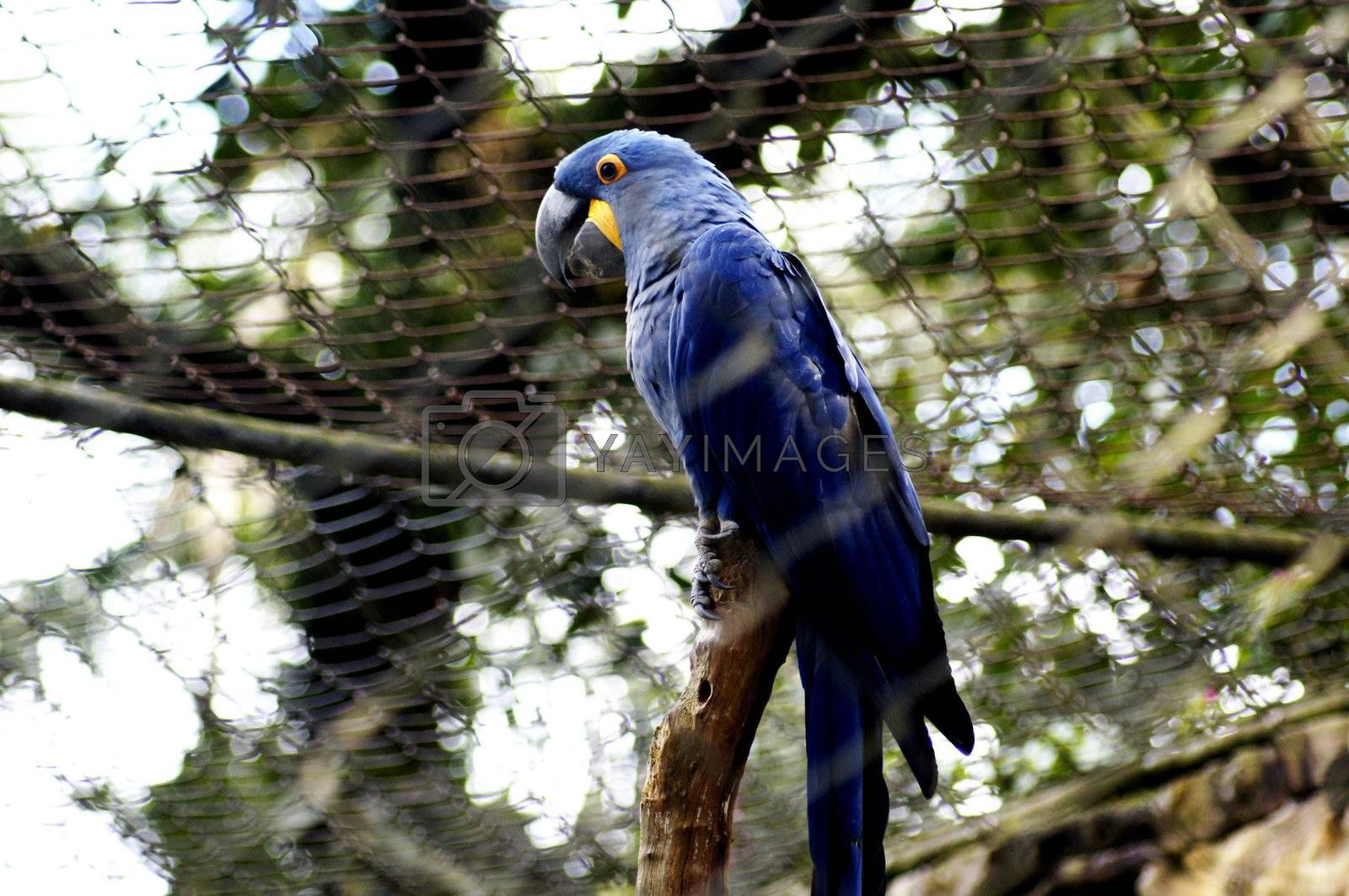 """Brazil is the country with the largest number of representatives of the family Psittacidae, being named from the time of the discovery as """"Land of Parrots."""""""