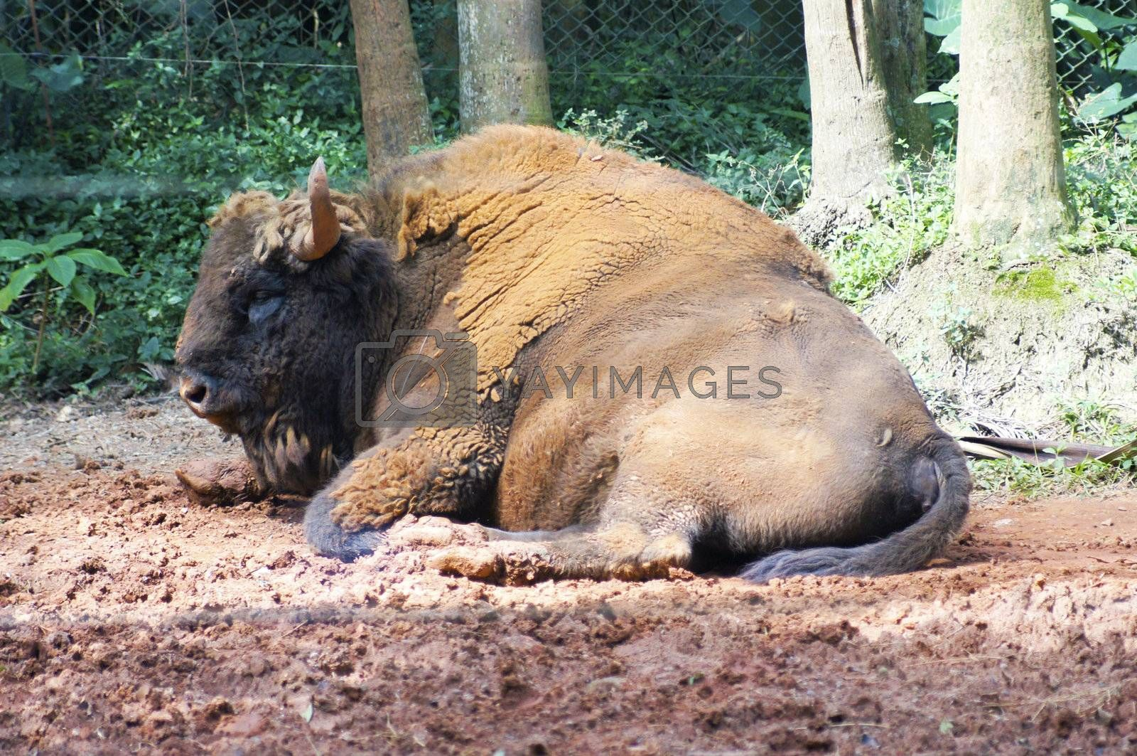 The African bison has never been domesticated and remain wild in national parks and regions of the African savannah.