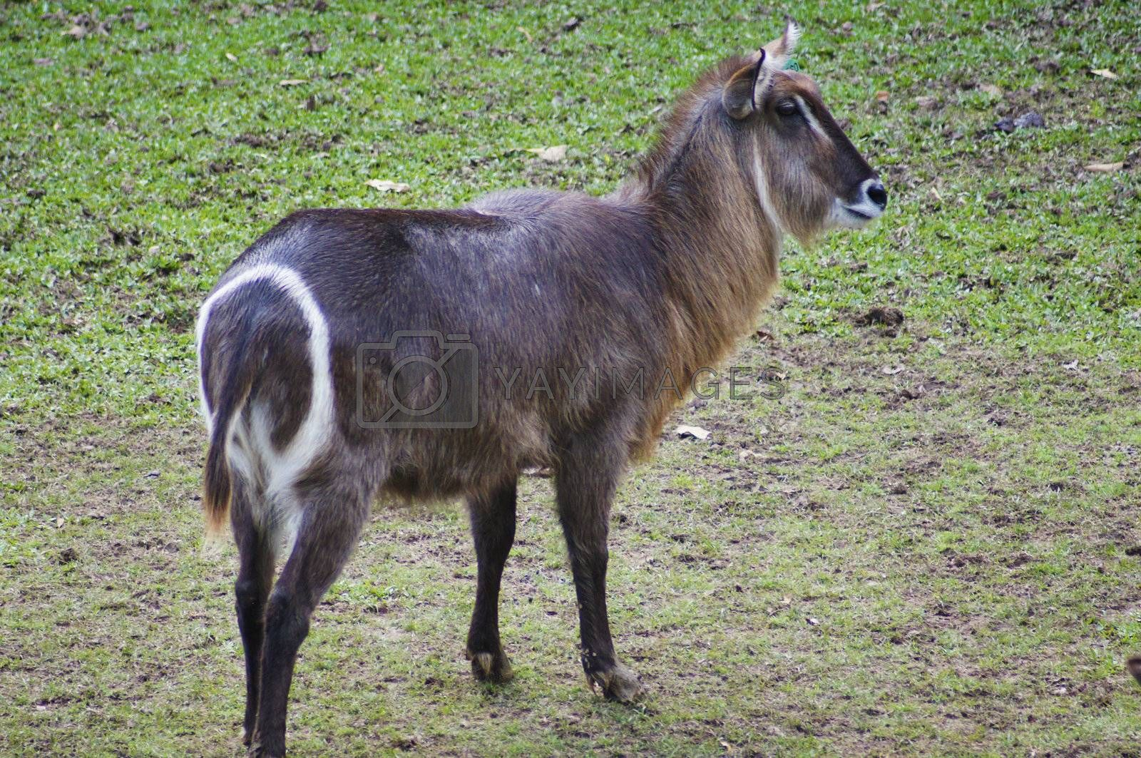 Waterbuck is a variety of gazelle in the African Savanna to live together in flocks zebras and other animals