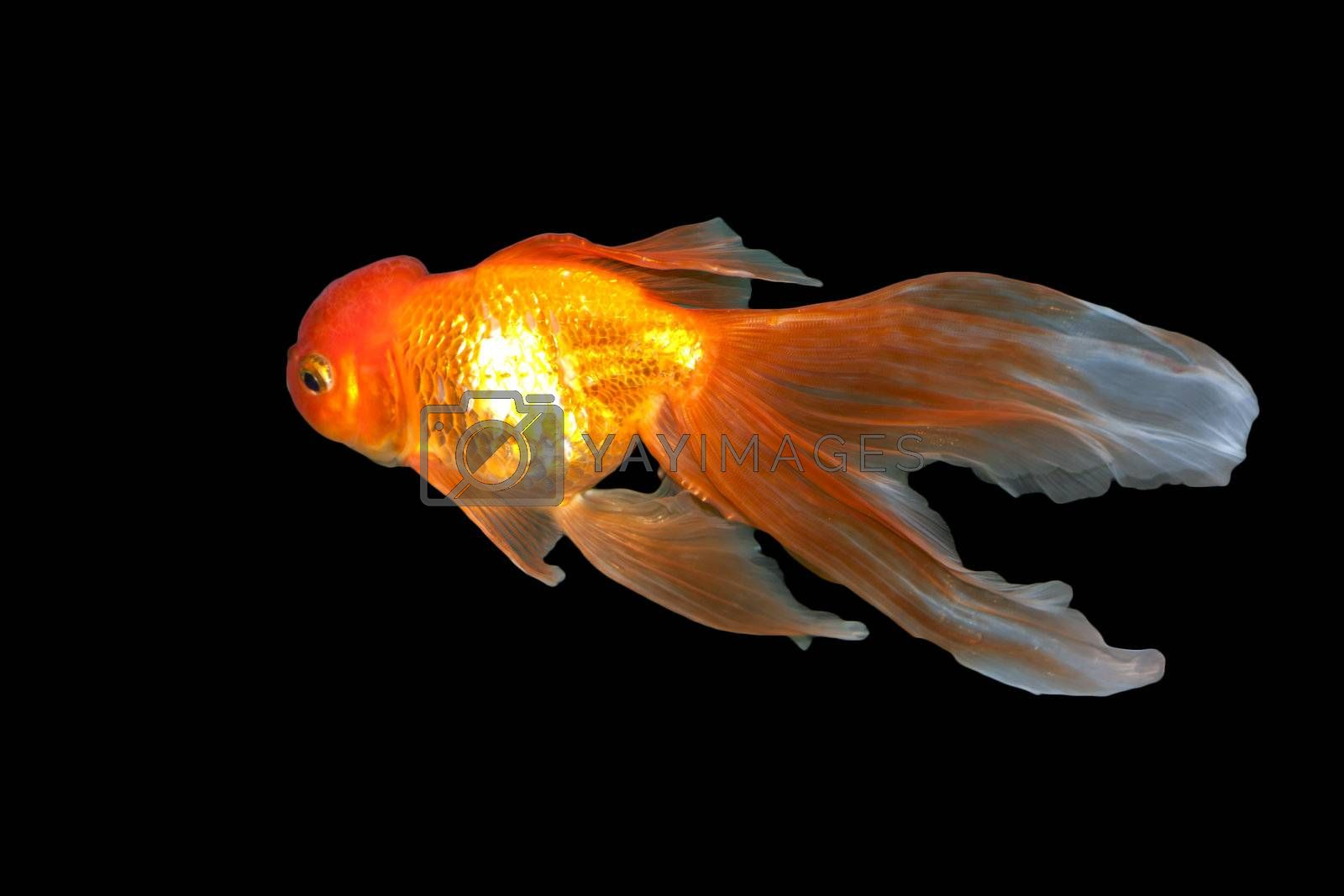 A beautiful, graceful goldfish swimming in the water