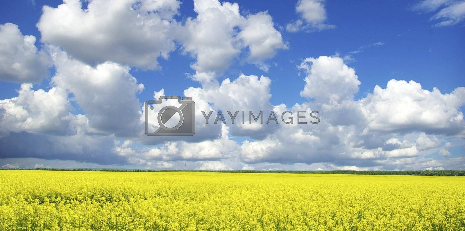 Rape field and clouds in sky