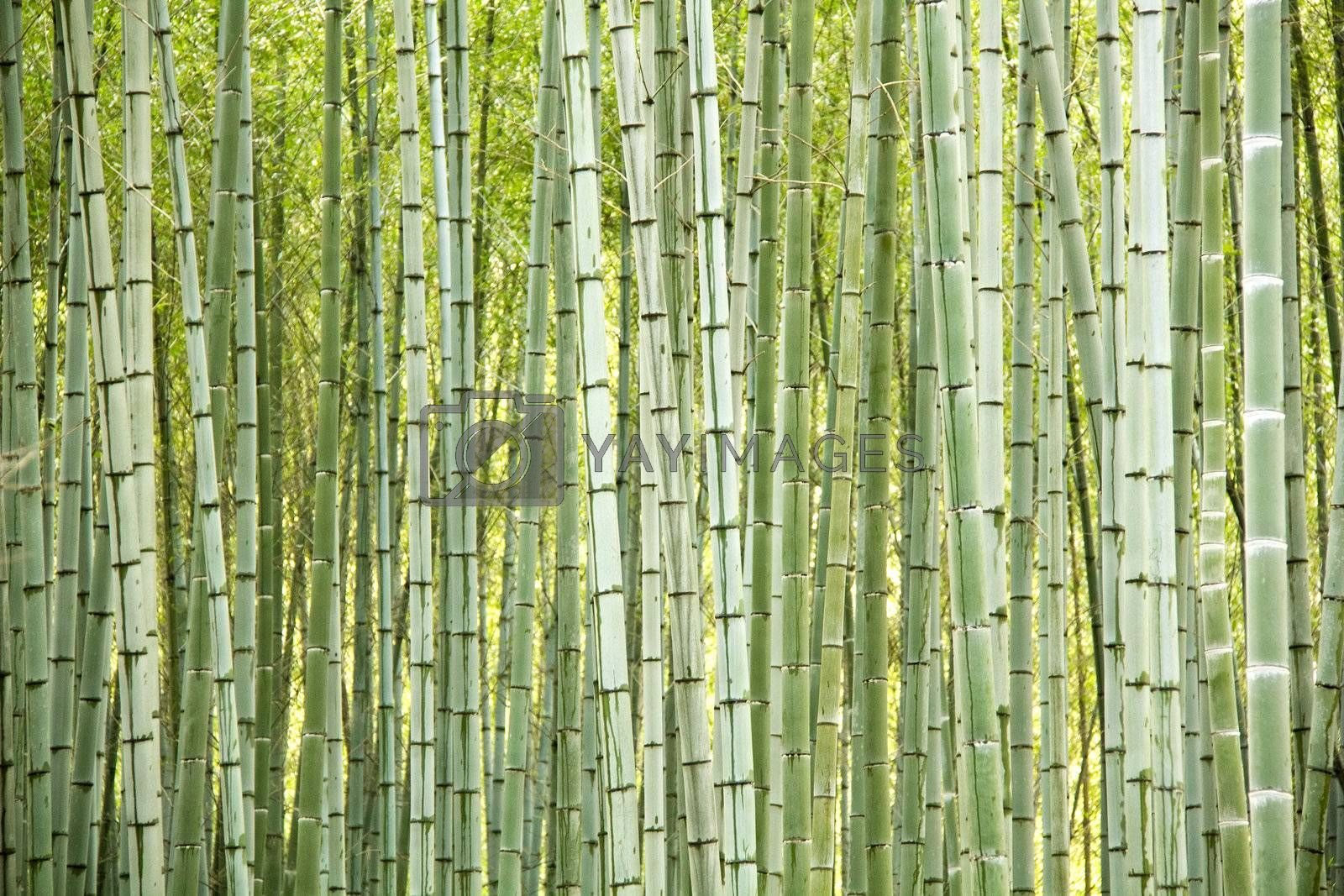 Natural bamboo trees as perfect abstract background