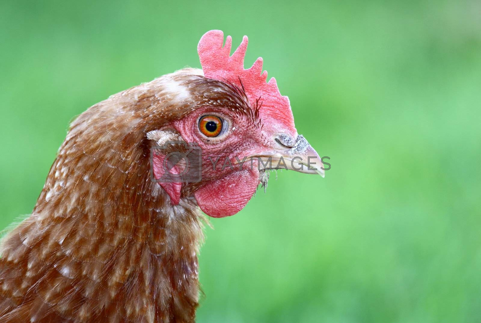 Close up of hen looking at the camera on green background with plenty of copy space.
