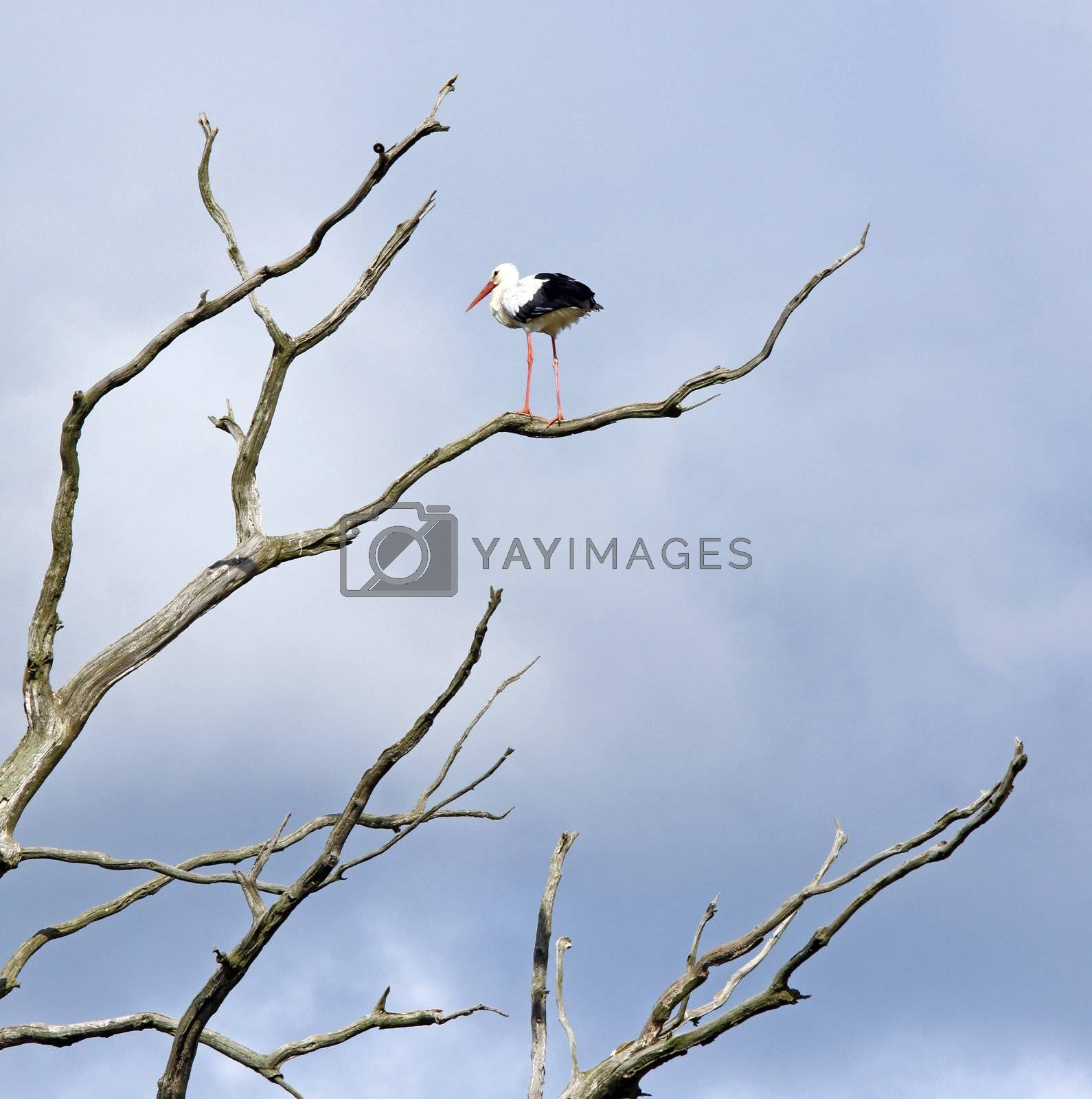 Dead tree branches against blue sky and stork