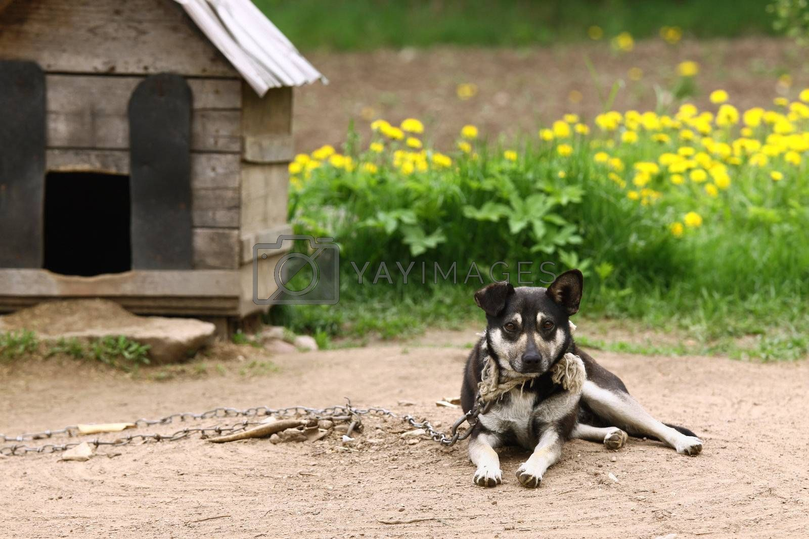 Dog sitting beside kennel in very poor rural environment