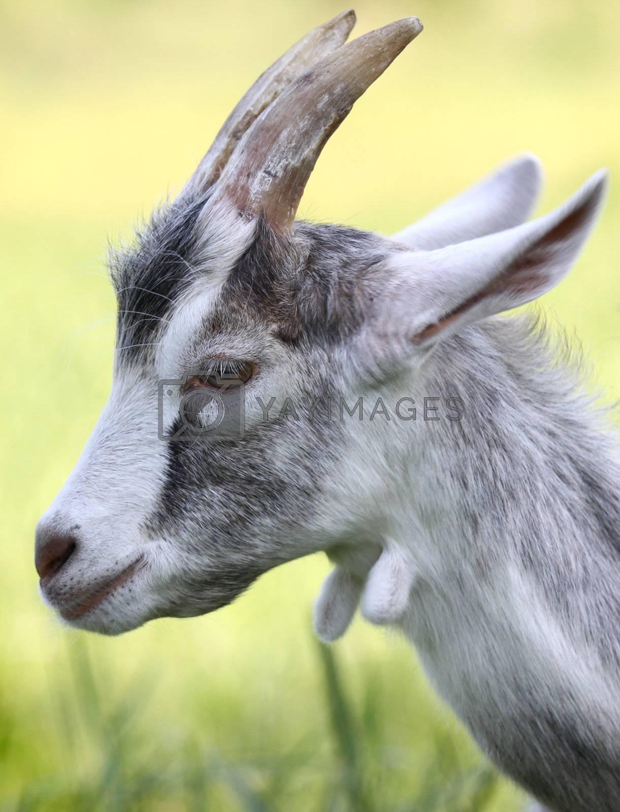 Horned goat by Cebas