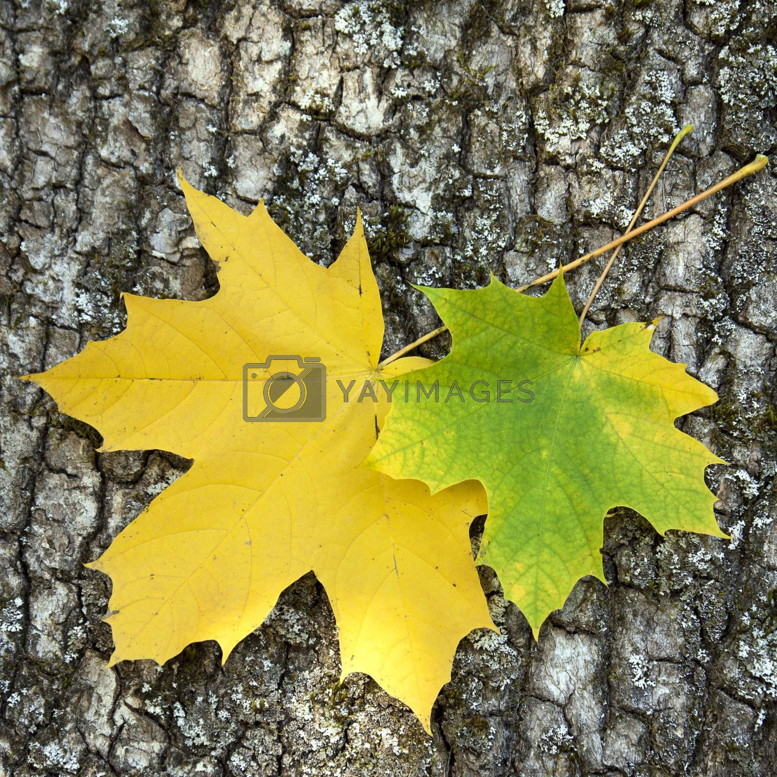 Two maple leaves by Vaidas Bucys