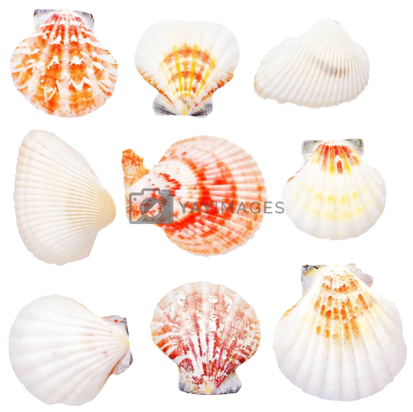 collection of seashells, isolated on white