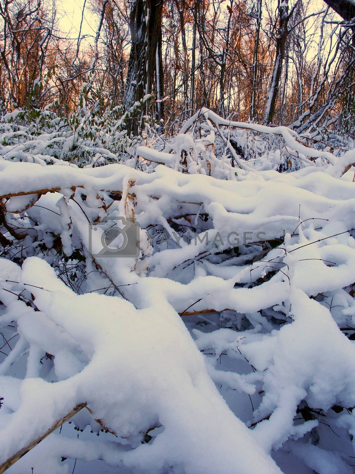 Snow covered forest scenery of Allerton Park in central Illinois.
