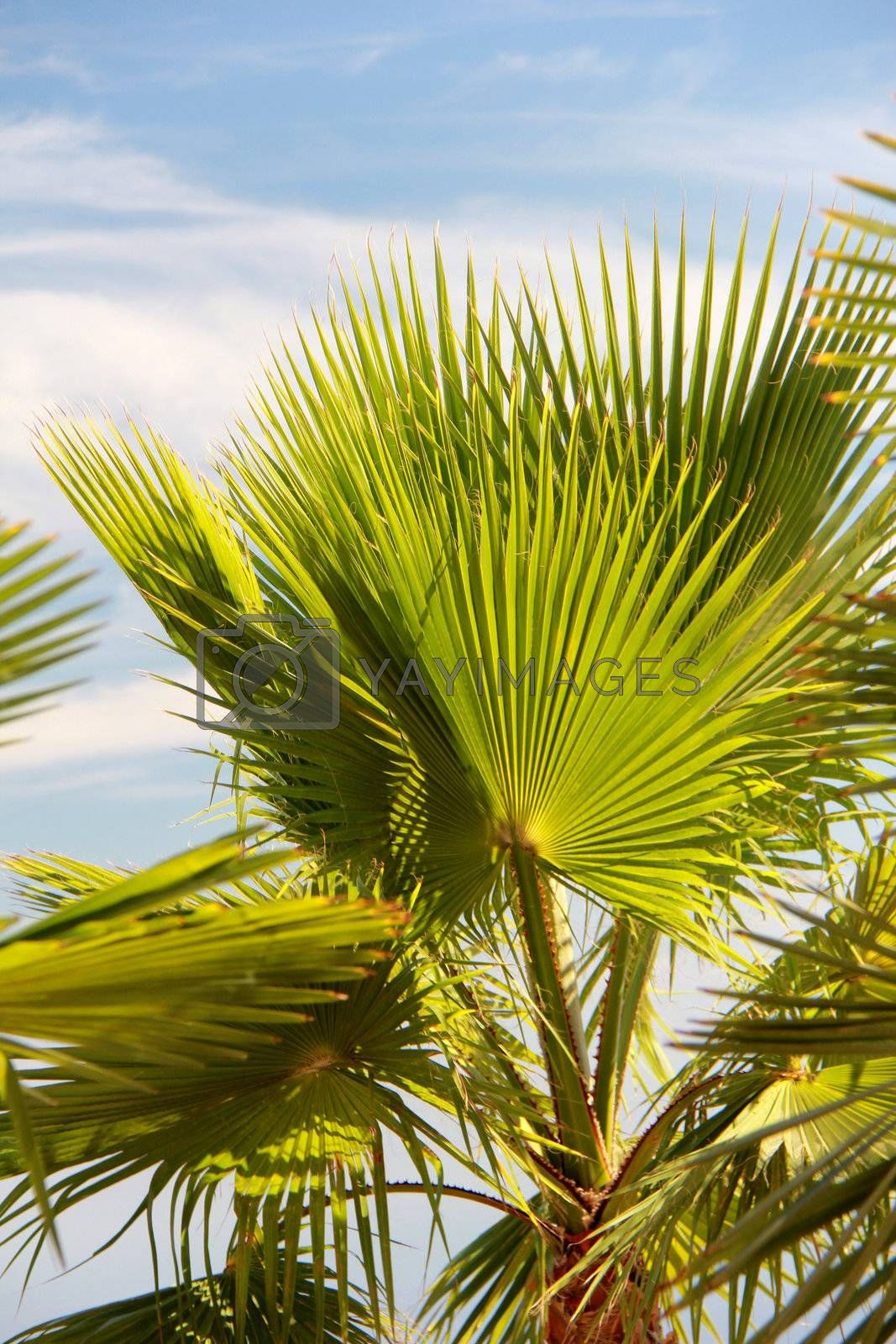 palm leaf with blue sky and backlight