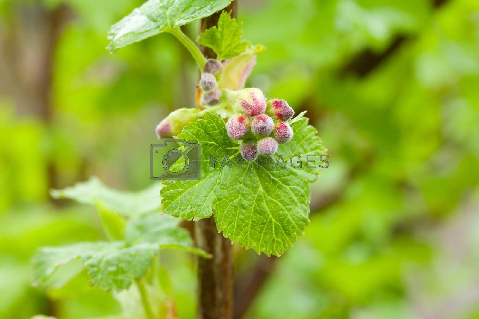 new leaves of redcurrant in spring