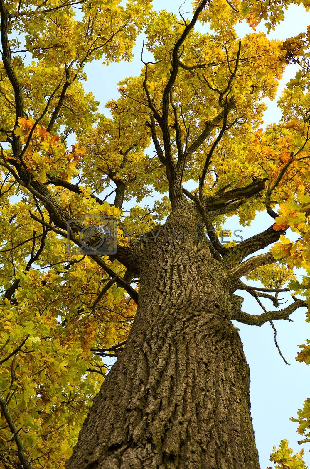 oak tree with yellow leaves in autumn