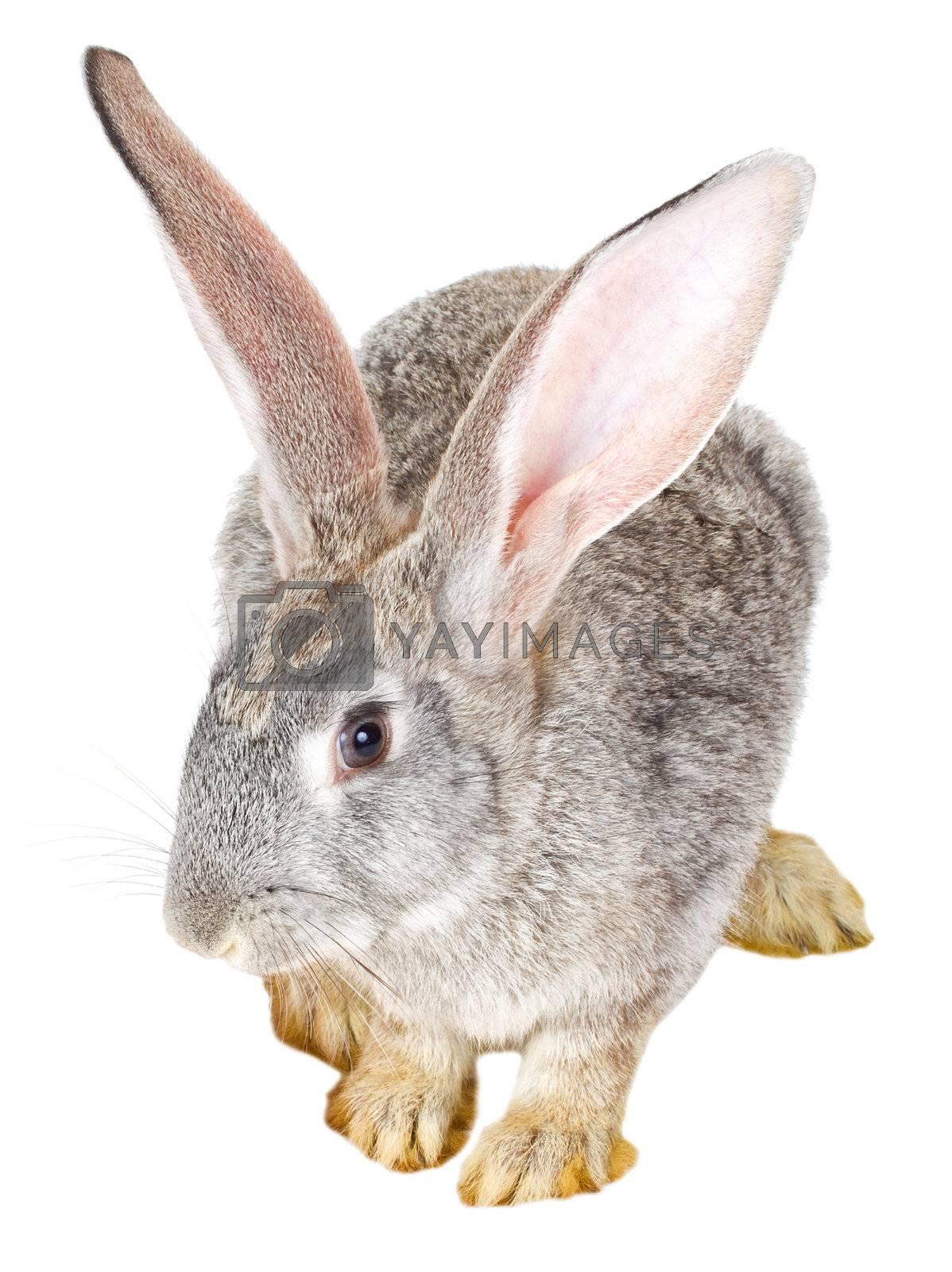 close-up single gray rabbit, isolated on white