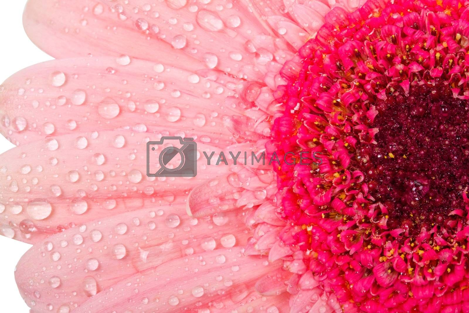 wet gerbera flower, macro shot