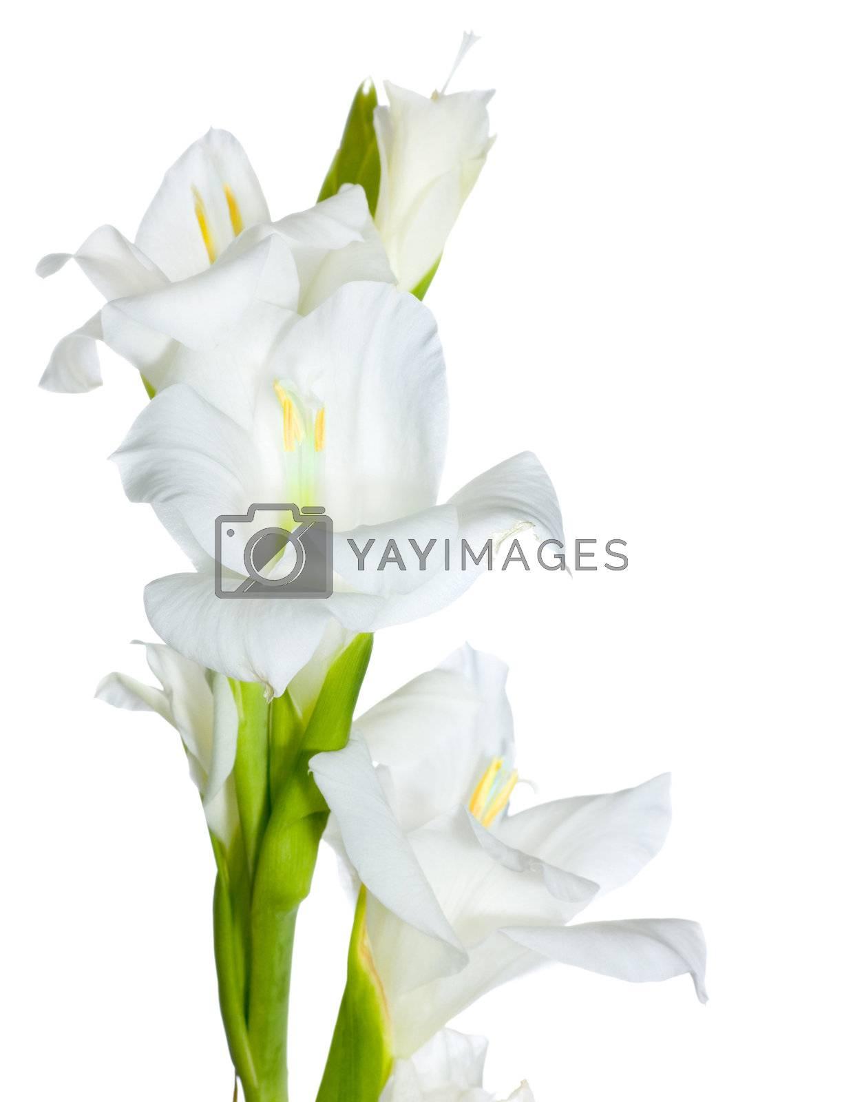 Beautiful White Gladiolus