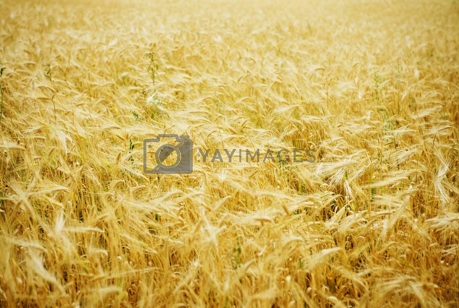 Wheat Background by Subbotina Anna