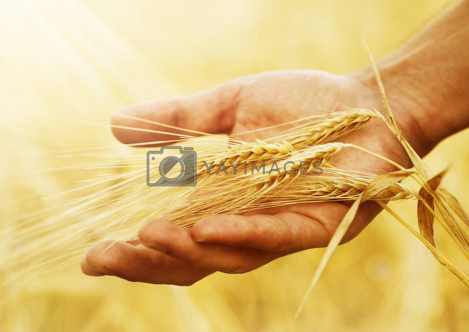 Wheat Ears In The Hand. Harvest Concept  by Subbotina Anna