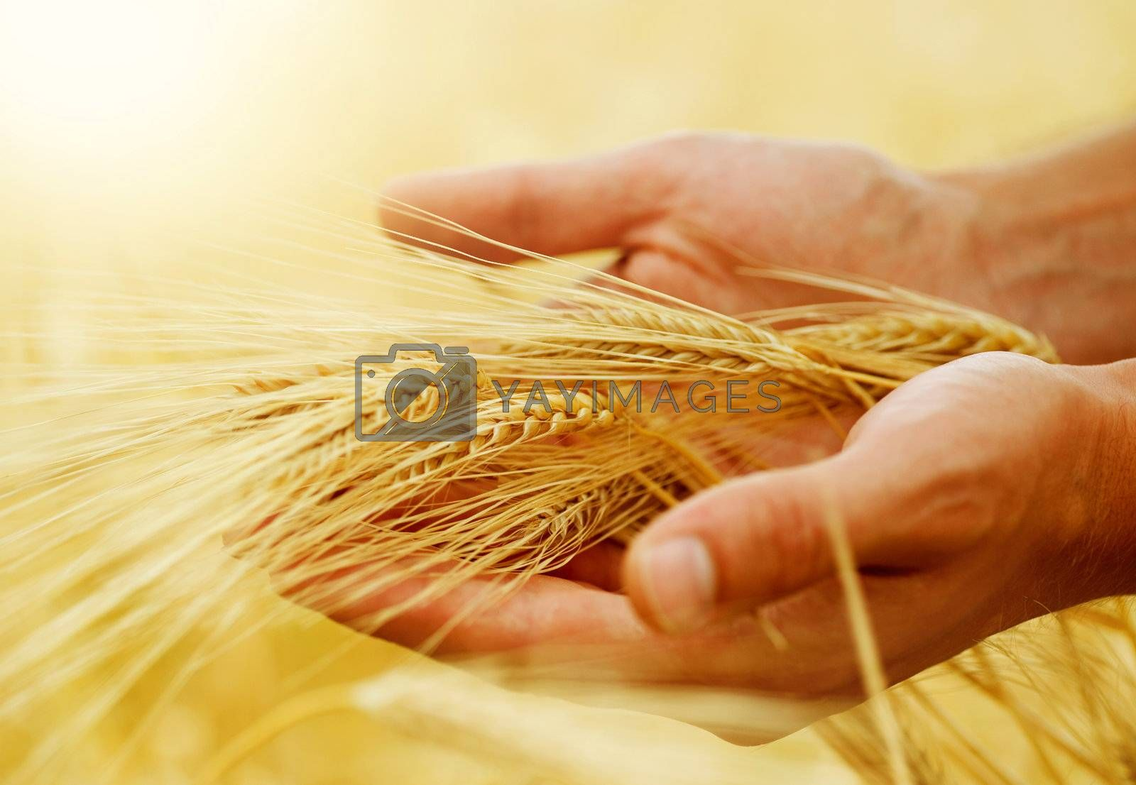 Wheat Ears In The Hands. Harvest Concept  by Subbotina Anna