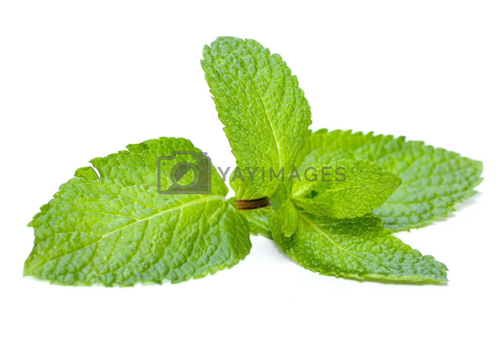 Mint Isolated On White by Subbotina Anna