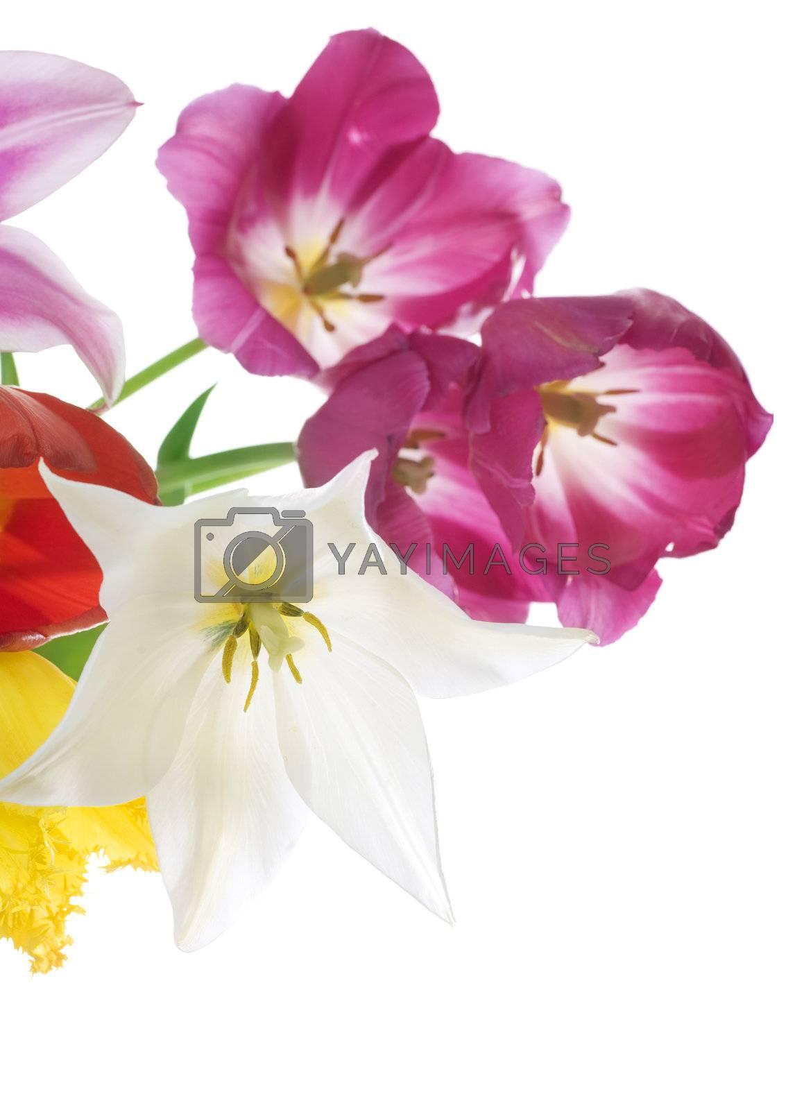 Spring Tulip Flowers by Subbotina Anna