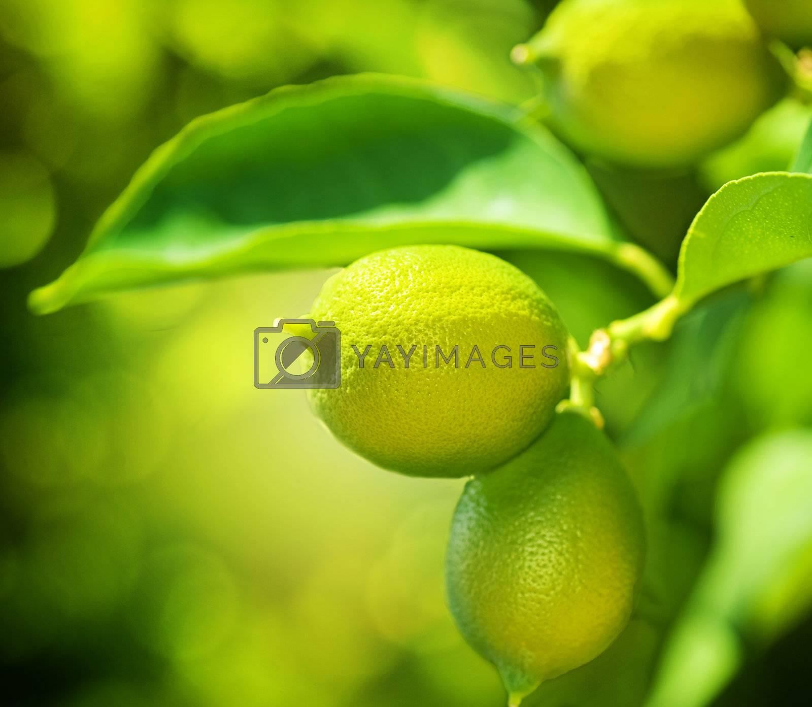 Lemon by Subbotina Anna