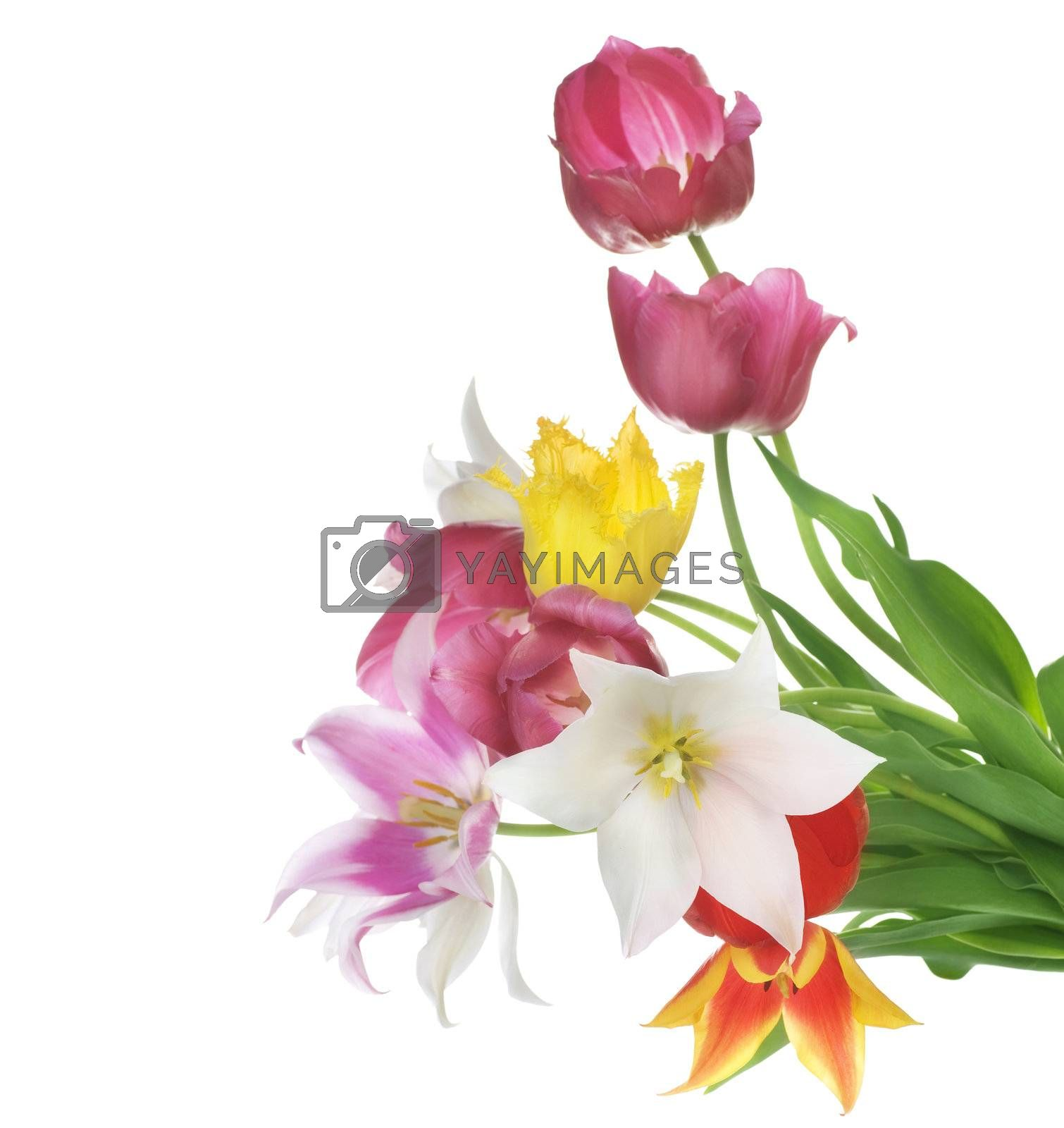 Spring Flowers Over White. Tulips Bunch  by Subbotina Anna