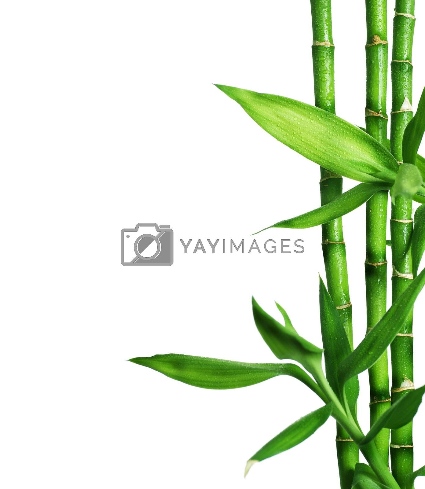 Bamboo isolated on white by Subbotina Anna