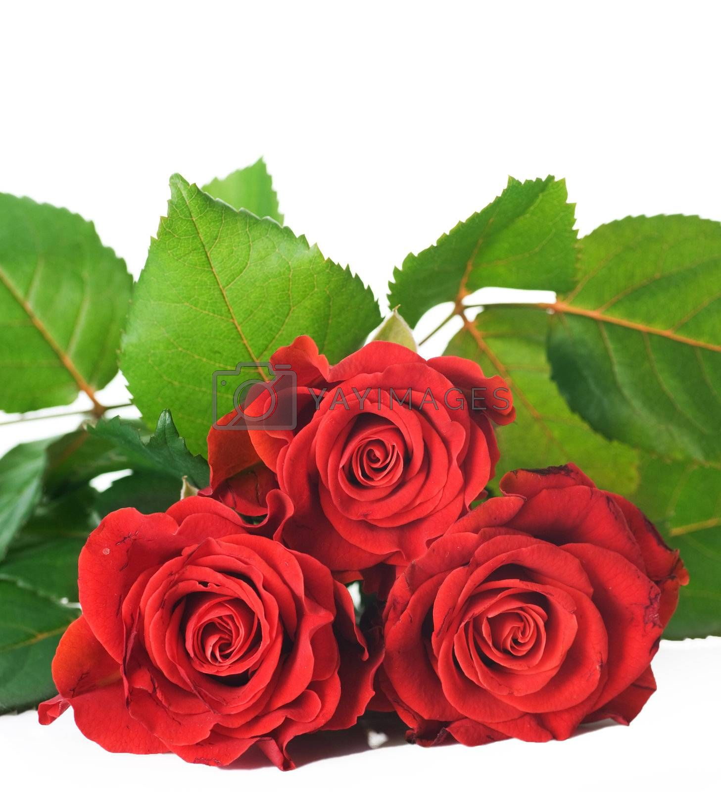 Beautiful Red Roses Over White  by Subbotina Anna