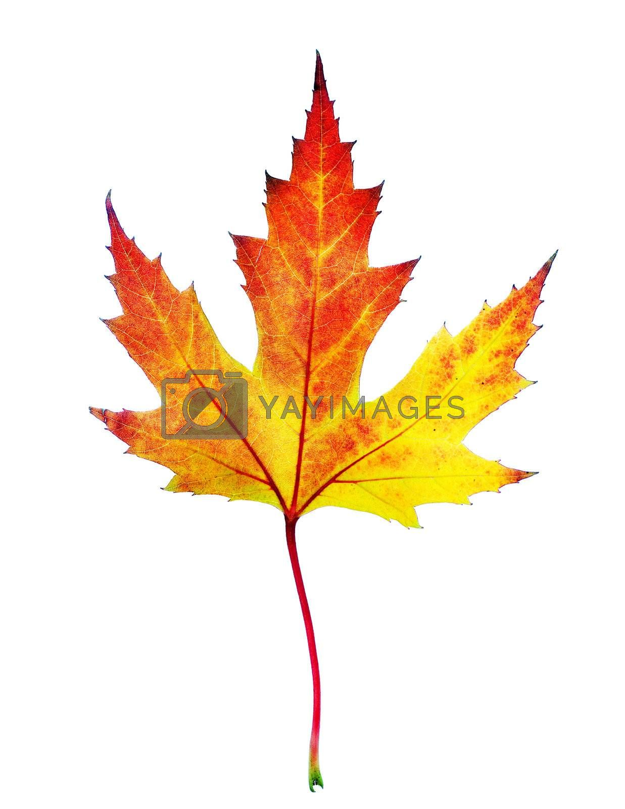 Perfect Autumn Leaf Over White by Subbotina Anna