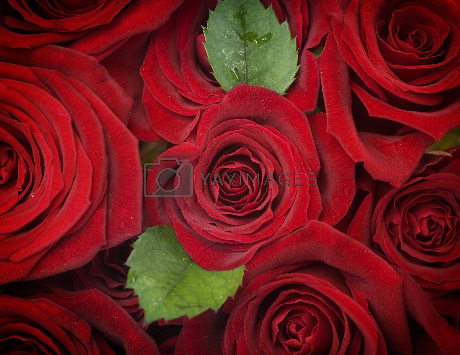 Red Roses Background. Selective focus by Subbotina Anna