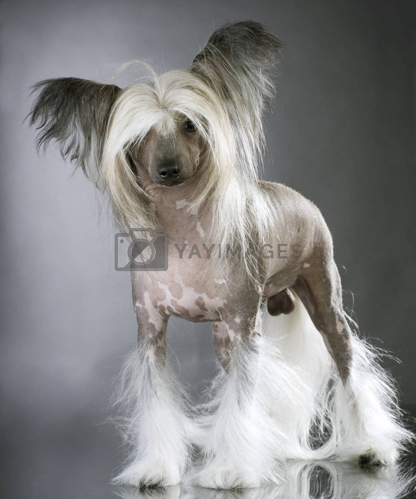 Lapdog. Chinese Crested Purebred Dog by Subbotina Anna