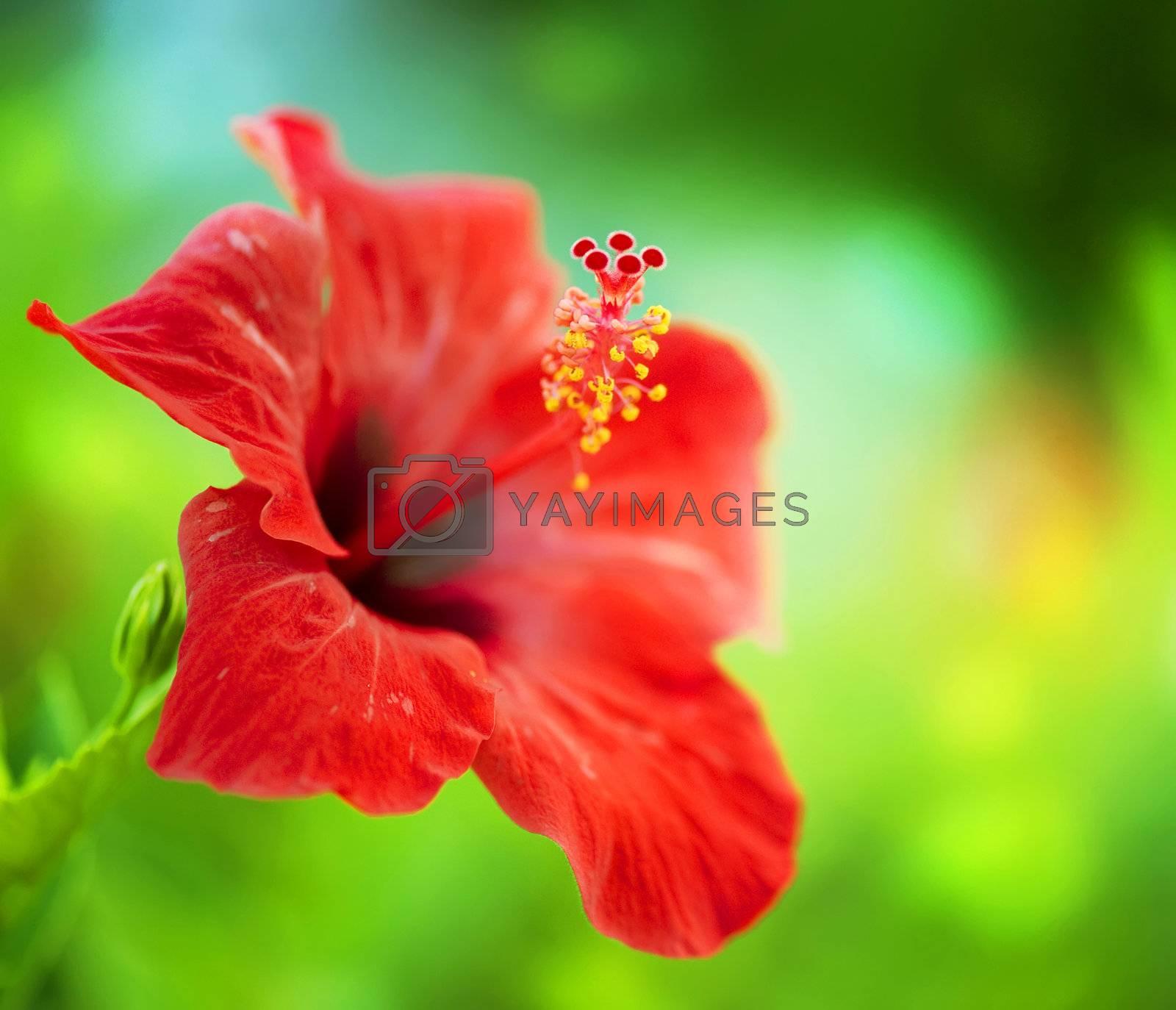 Hibiscus Flower. Shallow DOF by Subbotina Anna