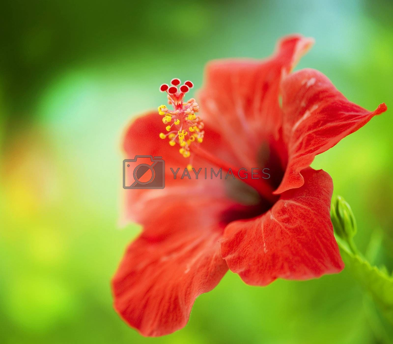 Hibiscus Flower. Shallow focus by Subbotina Anna