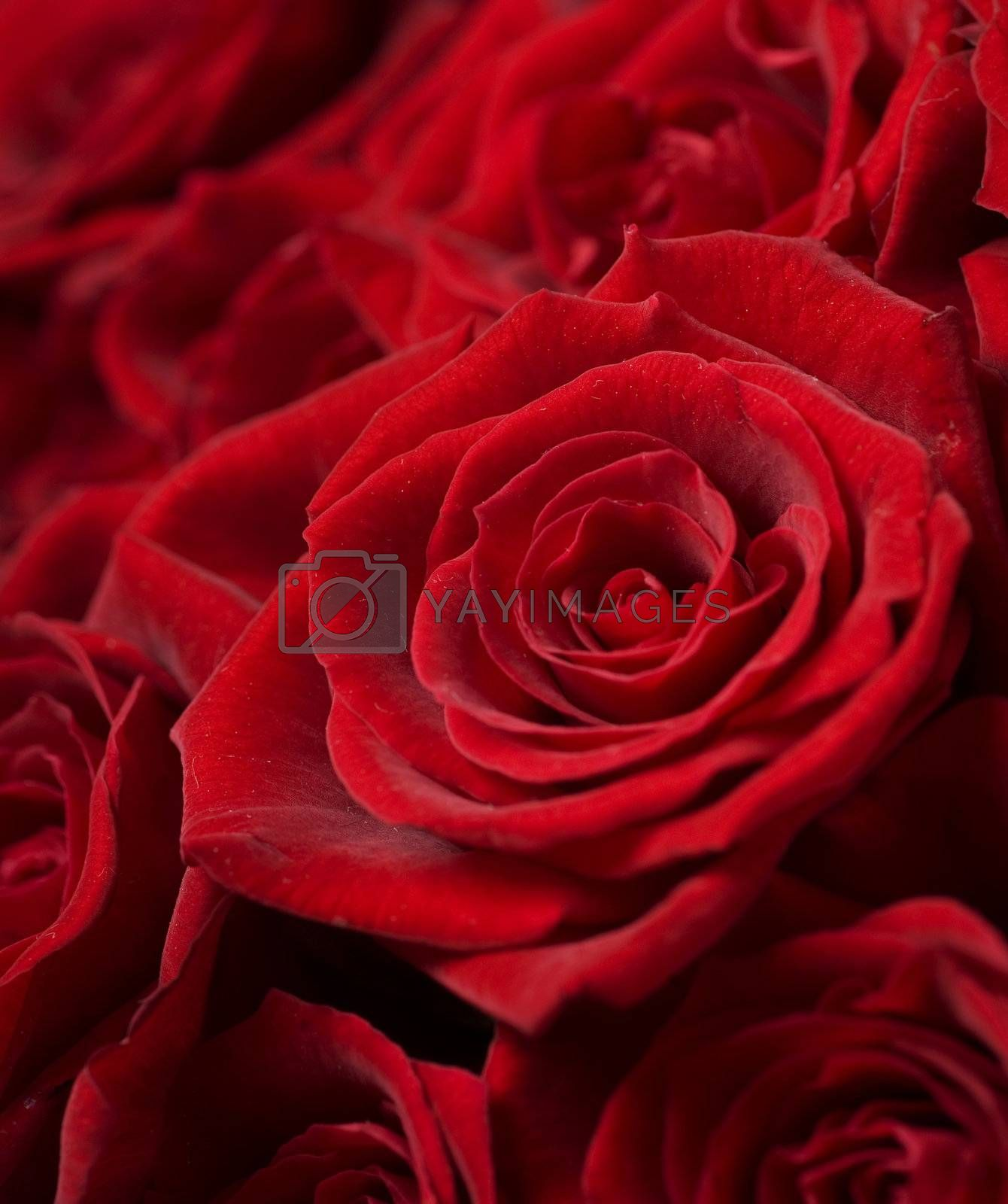 Red Roses. Selective focus by Subbotina Anna