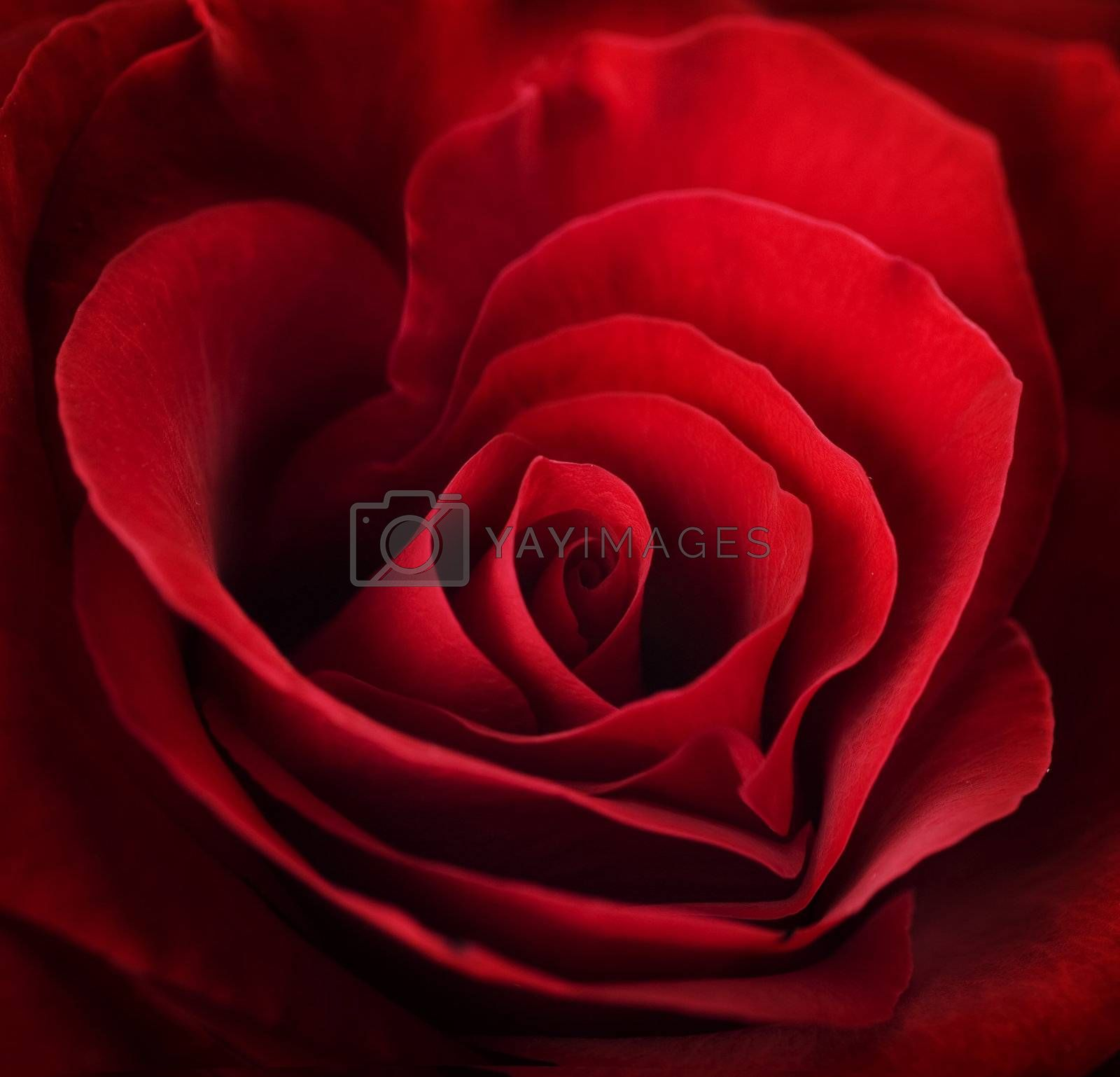 Valentine Red Rose. Heart shaped