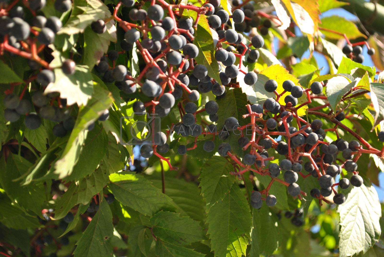 Kronas of dark grape, photo