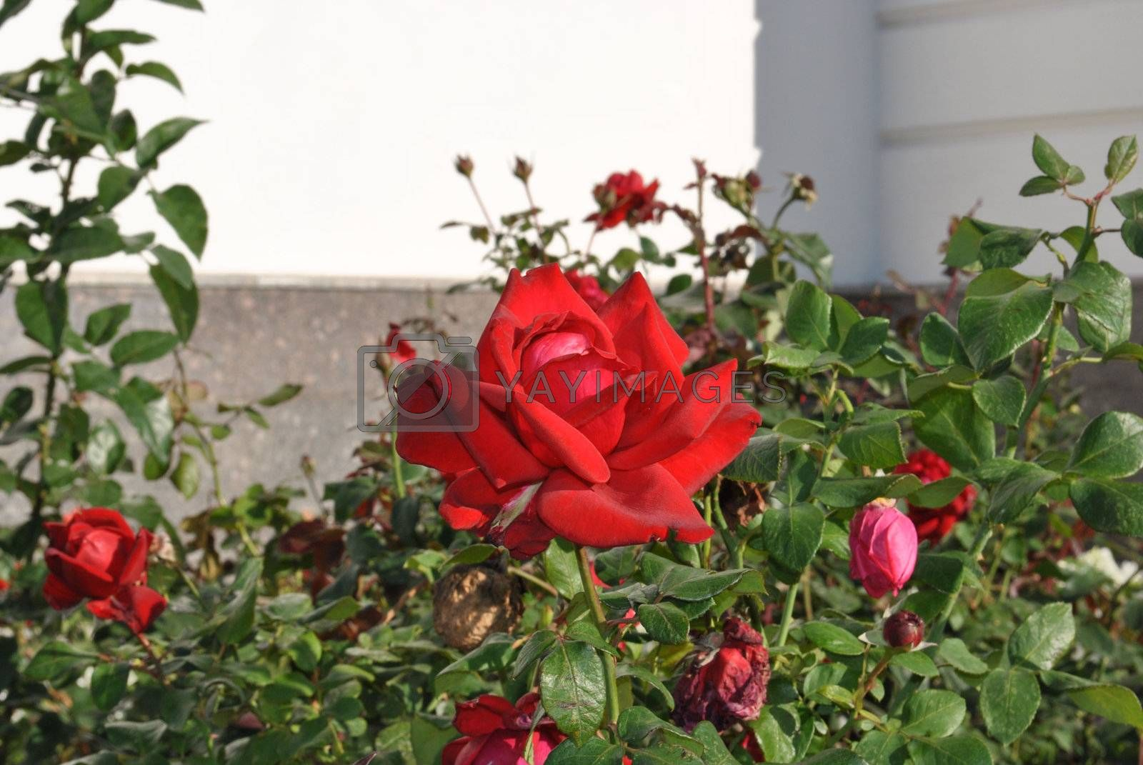 Red rose on flowerbed