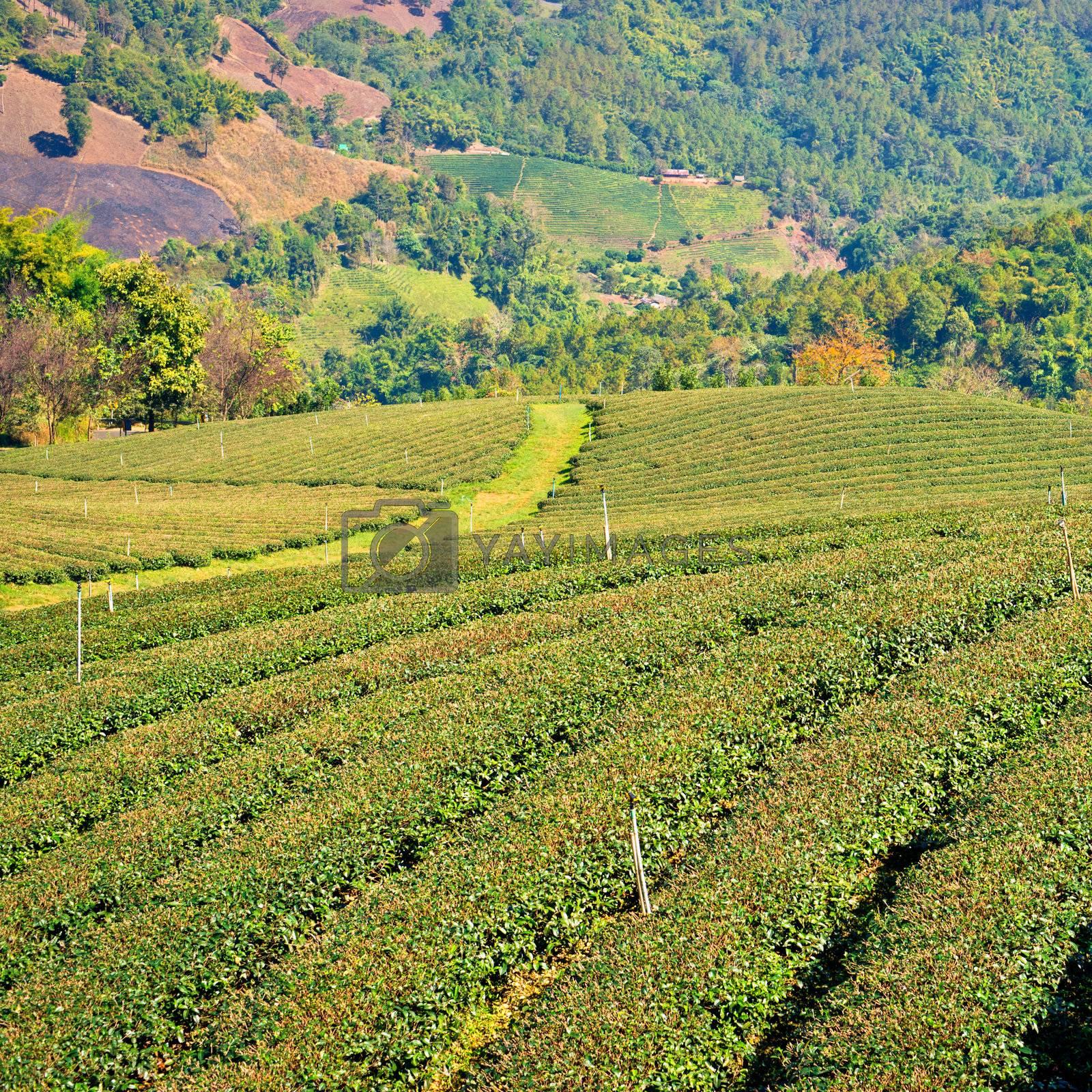 Tea plantation in village Mae Salong, Chiang Rai, Chiang Mai province, Thailand