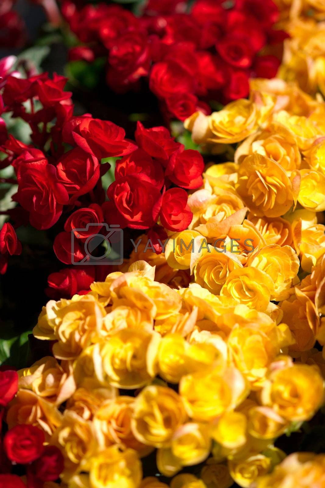 Red and yellow flowers close-up