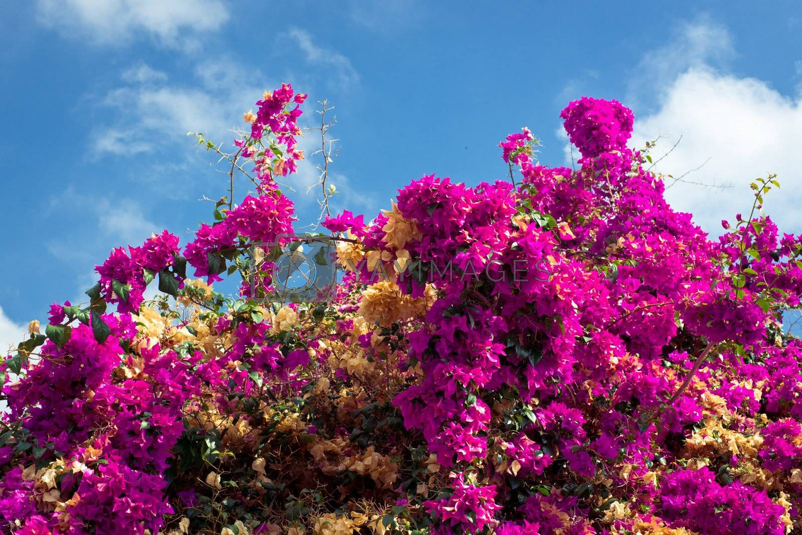 Blooming bush with magenta flowers on the blue sky background