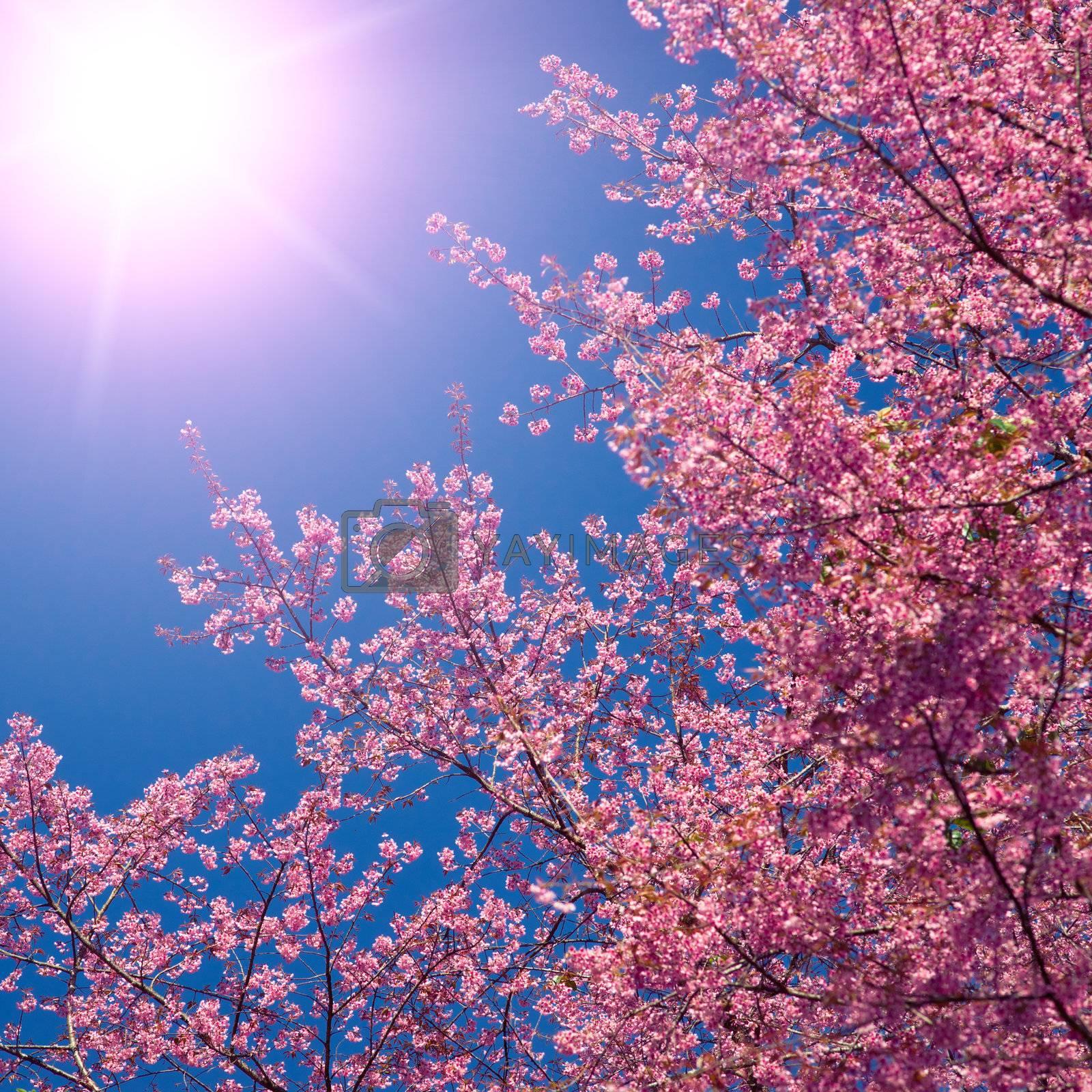 Blooming sakura on the blue sky background