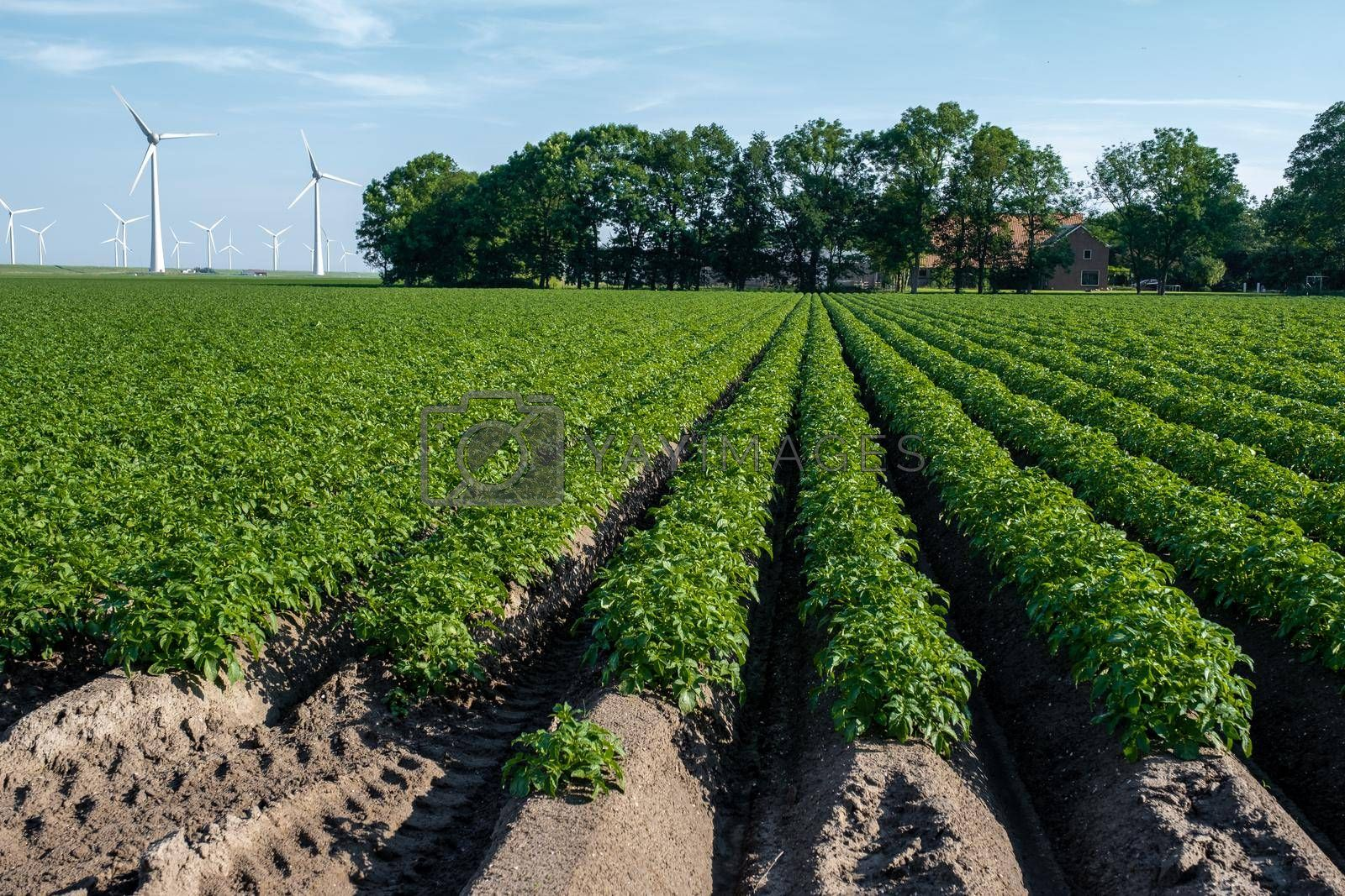 Green field of potato crops in a row Netherlands Flevoland Noordoostpolder