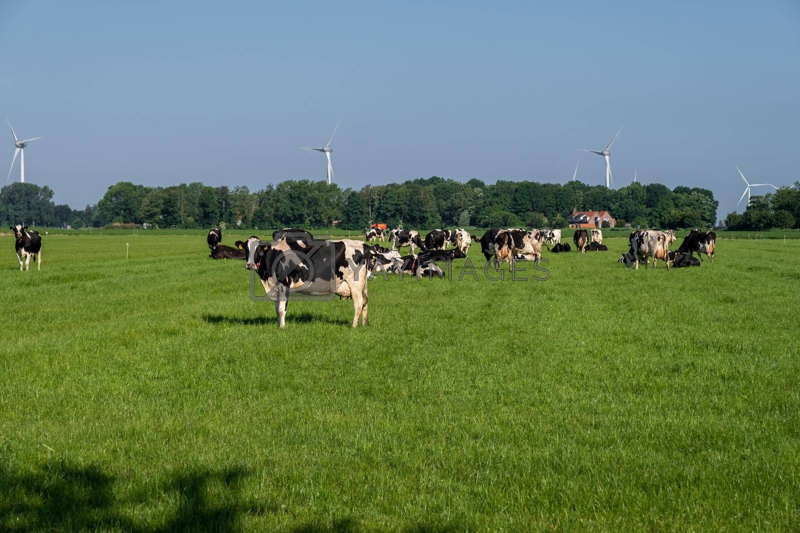 Dutch group of cows outside during sunny Spring weather in the Netherlands Noordoostpolder Flevoland. Holland